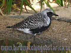 [:en]Bird Black-bellied Plover[:es]Ave Chorlito Gris[:]