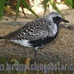 [:en]Bird Black-bellied Plover[:es]Ave Chorlito Gris[:]