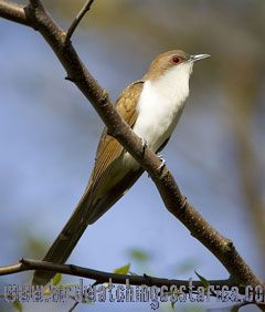 [:en]Bird Black-billed Cuckoo[:es]Ave Cuclillo Poquinegro[:]