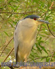 [:en]Bird Black-crowned Night-Heron[:es]Ave Martinete Coroninegro[:]