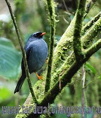 [:en]Bird Black-faced Solitaire[:es]Ave Jilguero, Solitario Carinegro[:]