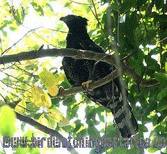 [:en]Bird Black Hawk-Eagle[:es]Ave Aguilillo Negro[:]