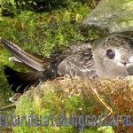 [:en]Bird Black Swift[:es]Ave Vencejo Negro[:]