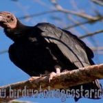 [:en]Bird Black Vulture[:es]Ave Zopilote Negro[:]