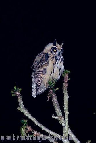 [:en]Bird Striped Owl[:es]Ave Buho Listado[:]
