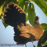 [:en]Bird Gray-headed Chachalaca[:es]Ave Chachalaca Cabecigris[:]