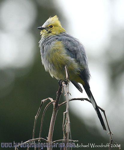 [:en]Bird Long-tailed Silky-Flycatcher[:es]Ave Capulinero Colilargo[:]