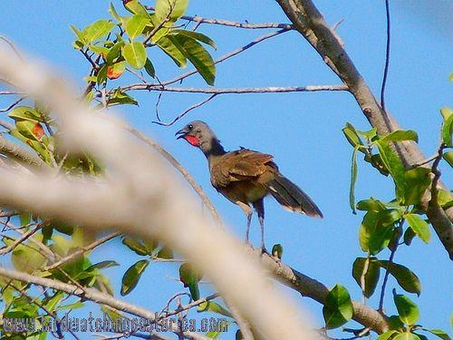 [:en]Bird Plain Chachalaca[:es]Ave Chachalaca Olivácea[:]