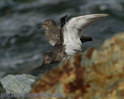 [:en]Bird Surfbird[:es]Ave Chorlito de Rompientes[:]