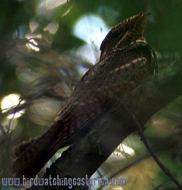 [:en]Bird Chuck-will´s-widow[:es]Ave Chotacabras de Paso[:]