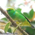 [:en]Bird Golden-browed Chlorophonia[:es]Ave Clorofonia Cegidorada[:]