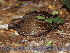 [:en]Bird Spotted Wood-Quail[:es]Ave Codorniz Moteada[:]