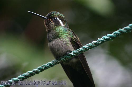 [:en]Bird Purple-throated Mountain-gem[:es]Ave Colibrí Montañés Gorgimorado[:]