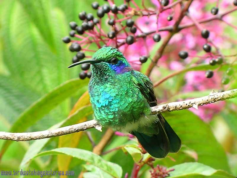 [:en]Bird Brown Violet-ear[:es]Ave Colibrí Oregivioláceo Pardo[:]
