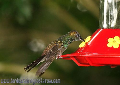 [:en]Bird Bronze-tailed Plumeleteer[:es]Ave Colibrí Patirrojo[:]