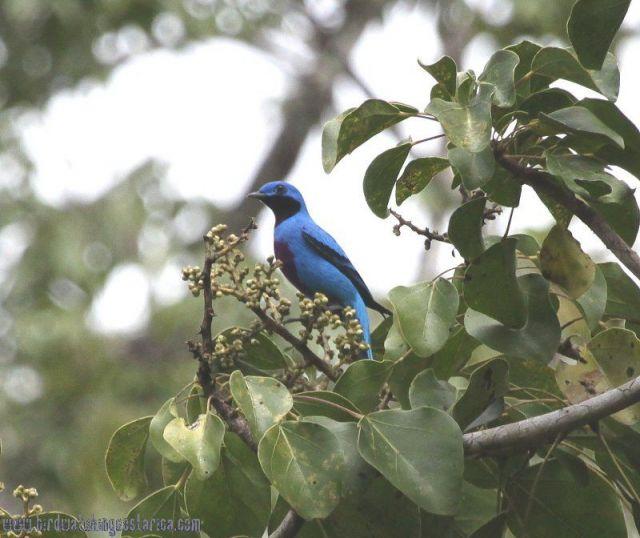 [:en]Bird Lovely Cotinga[:es]Ave Cotinga Linda[:]