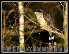 [:en]Bird Mangrove Cuckoo[:es]Ave Cuclillo de Antifaz[:]