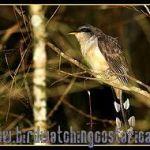 [:en]Bird Mangrove Cuckoo[:es]Ave Cuclillo de Antifaz[:]