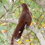[:en]Bird Squirrel Cuckoo[:es]Ave Cuco Ardilla[:]