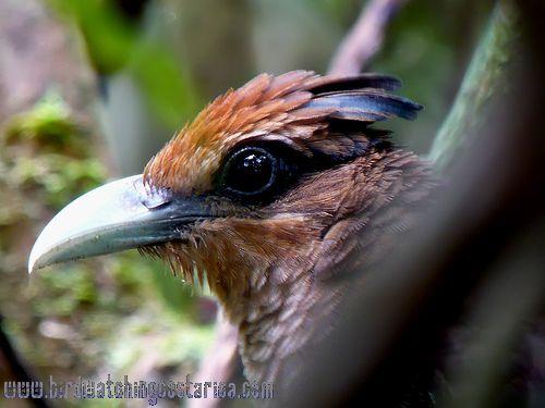 [:en]Bird Rufous-vented Ground-Cuckoo[:es]Ave Cuco Hormiguero[:]