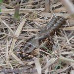 [:en]Bird Common Pauraque[:es]Ave Cuyeo, Tapacaminos Común[:]