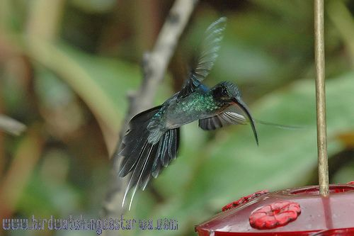 [:en]Bird Green Hermit[:es]Ave Ermitaño Verde[:]