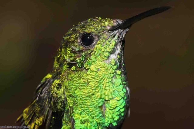 [:en]Bird White-tailed Emerald[:es]Ave Esmeralda Coliblanca[:]