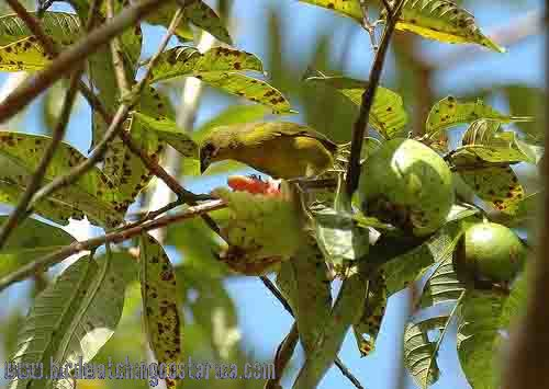 [:en]Bird Yellow-crowned Euphonia[:es]Ave Eufonia Coroniamarilla[:]
