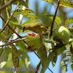 [:en]Bird Yellow-crowned Euphonia[:es]Ave Eufonia Coroniamarilla[:]