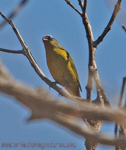 [:en]Bird Elegant Euphonia[:es]Ave Eufonia Elegante[:]