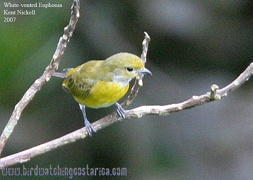 [:en]Bird White-vented Euphonia[:es]Ave Eufonia Menuda[:]