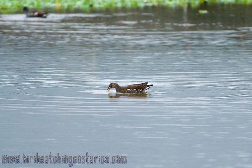 [:en]Bird Common Moorhen[:es]Ave Gallareta Frentirroja[:]
