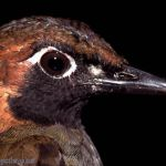 [:en]Bird Black-faced Antthrush[:es]Ave Gallito Hormiguero Carinegro[:]