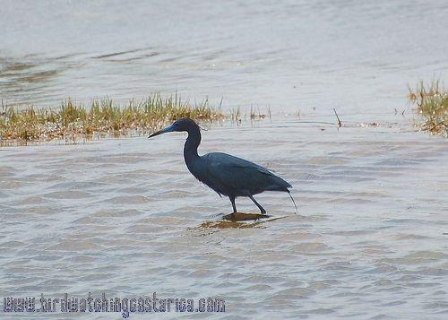 [:en]Bird Little Blue Heron[:es]Ave Garceta Azul[:]