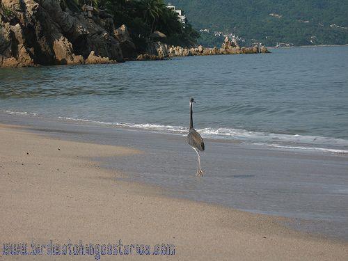 [:en]Bird Tricolored Heron[:es]Ave Garceta Tricolor[:]