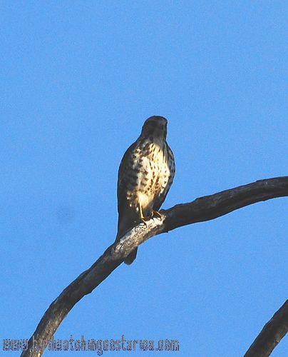 [:en]Bird Broad-winged Hawk[:es]Ave Gavilán Aludo[:]
