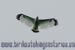 [:en]Bird White Hawk[:es]Ave Gavilán Blanco[:]