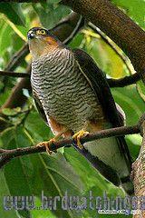 [:en]Bird Roadside Hawk[:es]Ave Gavilán Chapulinero[:]