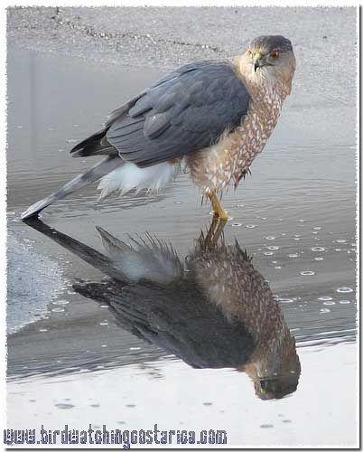 [:en]Bird Cooper´s Hawk[:es]Ave Gavilán de Cooper[:]