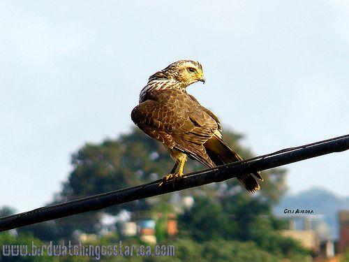 [:en]Bird Tiny Hawk[:es]Ave Gavilán Enano[:]