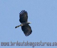 [:en]Bird Hook-billed Kite[:es]Ave Gavilán Piquiganchudo[:]
