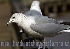 [:en]Bird Ring-billed Gull[:es]Ave Gaviota Piquianillada[:]