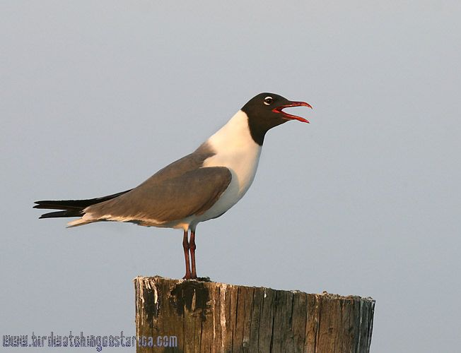 [:en]Bird Laughing Gull[:es]Ave Gaviota Reidora[:]