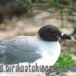 [:en]Bird Swallow-tailed Gull[:es]Ave Gaviota Tijereta[:]