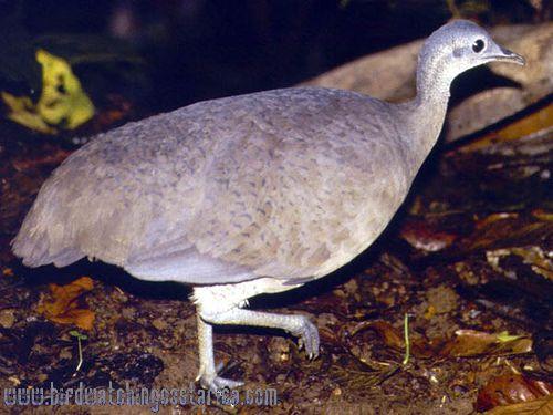 [:en]Bird Great Tinamou[:es]Ave Tinamú Grande[:]