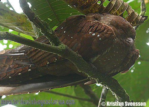 [:en]Bird Oilbird[:es]Ave Guácharo[:]