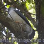 [:en]Bird Slaty-backed Forest-Falcon[:es]Ave Halcón de Monte Dorsigris[:]