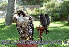 [:en]Bird Peregrine Falcon[:es]Ave Halcón Peregrino[:]