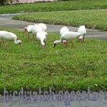 [:en]Bird White Ibis[:es]Ave Ibis Blanco[:]