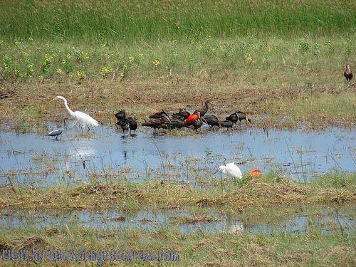 [:en]Bird Green Ibis[:es]Ave Ibis Verde[:]